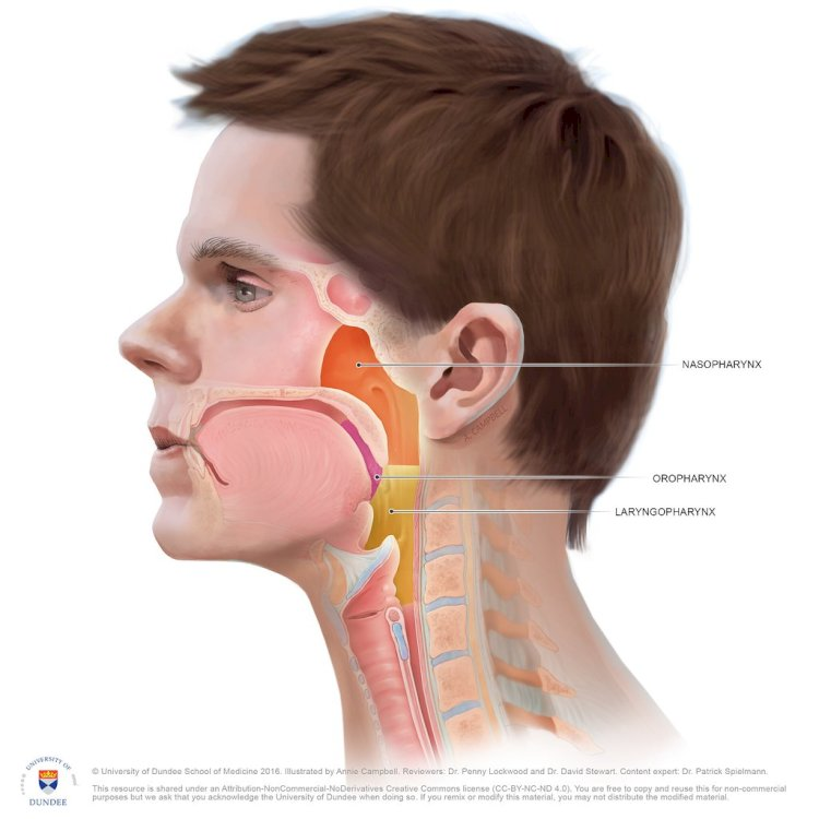 Oropharynx and Laryngopharynx by Annie Campbell University of Dundee
